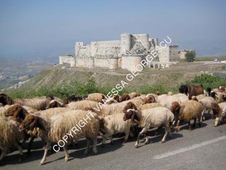 Troupeau de chèvres avec Crac des chevaliers en arrière plan, Syrie