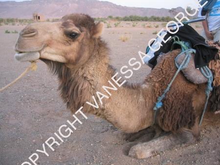 mon dromadaire dans le Sahara